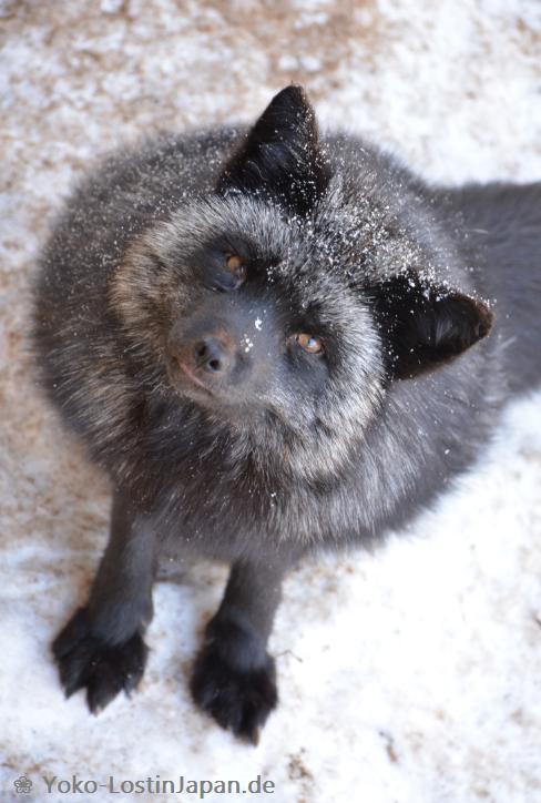 foxvillage006